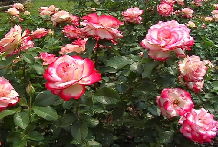 Unduh 84 Gambar Jenis Bunga Mawar Terbaik